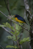 Violaceous euphonia, Euphonia violacea Royalty Free Stock Photo