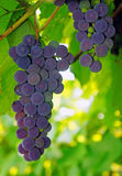 Violaceous Grapes on the vine Royalty Free Stock Images