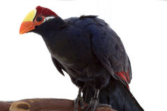 Violaceous Turaco Royalty Free Stock Image