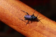 Violaceum púrpura brillante de Callidium del escarabajo en la madera Fotos de archivo libres de regalías