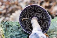 Violaceus & x28 van paddestoelcortinarius; Cortinarius hercynicus& x29; Royalty-vrije Stock Afbeeldingen