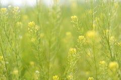 Violación amarilla de la flor de la primavera con el fondo de la falta de definición Foto de archivo