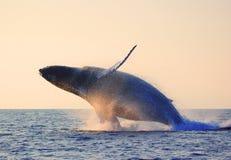 Violación de la ballena Foto de archivo libre de regalías