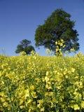 Violación de la semilla oleaginosa en el campo Foto de archivo libre de regalías