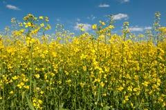 Violación de semilla oleaginosa Foto de archivo libre de regalías