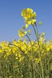 Violación de semilla oleaginosa Imagen de archivo libre de regalías