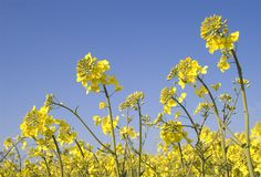 Violación de semilla oleaginosa Fotos de archivo