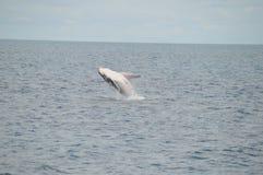 Violación del becerro de la ballena Foto de archivo libre de regalías