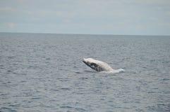 Violación del becerro de la ballena Imágenes de archivo libres de regalías