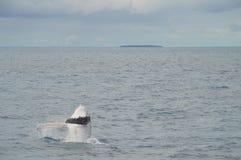 Violación del becerro de la ballena Fotografía de archivo libre de regalías