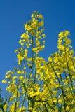 Violación floreciente, cielo azul imagen de archivo libre de regalías
