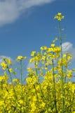 Violación floreciente, cielo azul fotos de archivo libres de regalías