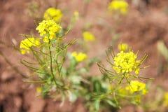 Violación: un arbusto verde con las pequeñas flores amarillas - una hierba perenne con los lanzamientos de dos años en fondo borr Fotos de archivo