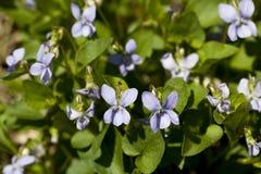 Violaodorata Arkivfoton