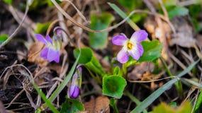 Violaodorata Lizenzfreie Stockfotos
