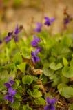 Violaodorata Lizenzfreie Stockbilder