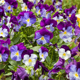Violas. Colorful violas in the summer garden Stock Photos