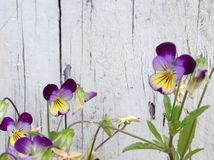Violas. And distressed wood Royalty Free Stock Photos