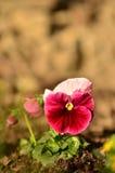 Violas en un jardín Imagen de archivo libre de regalías
