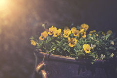 Violas growing in spring garden decoration,. Sunset or sunrise Stock Images