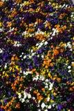 Violas Stock Photo