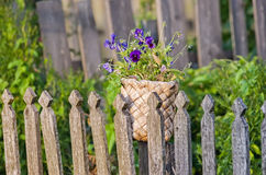 Violas in old birch basket Royalty Free Stock Photo