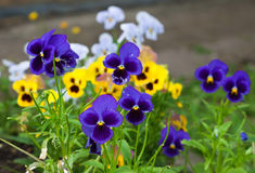 Violas or Pansies. Closeup in a Garden Royalty Free Stock Images