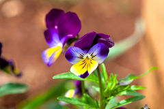 Violas and Pansies. Close Up in a Garden Royalty Free Stock Image