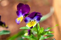 Violas and Pansies Royalty Free Stock Image