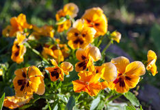 Violas or Pansies Closeup Royalty Free Stock Image