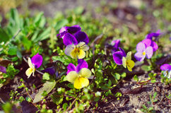 Violas or Pansies Closeup in a Garden Royalty Free Stock Photo