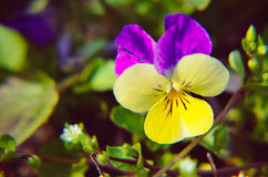 Violas or Pansies Closeup in a Garden Royalty Free Stock Images