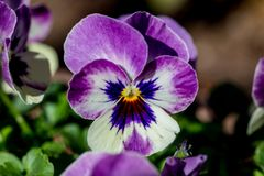 Violas in a planter box. Violas bloom in a planter box in a small park in Yamato, Japan Royalty Free Stock Photo