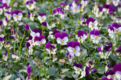 Violas. Pretty little viola flowers in a natural carpet = ground cover or gardening background Stock Image