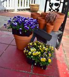 Violas ready to be planted. Plants and pots ready for the spring garden Stock Photo