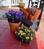 Violas ready to be planted Stock Photo