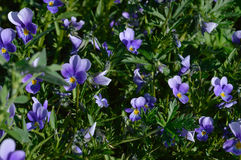 Violas. Summer background filled with blooming violas Royalty Free Stock Photography