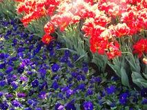 violas Três-coloridas e tulipas vermelhas fotografia de stock