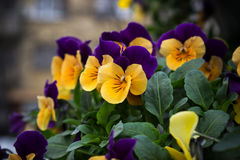Violas. Winter purple golden viola flowers Stock Photos