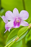 Violate orchid with dew Stock Photography