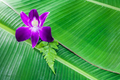 Violate orchid. On green banana leaf Stock Image