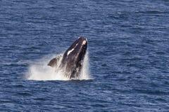 Violation du sud de baleine droite Image stock