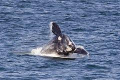 Violation du sud de baleine droite Photo libre de droits