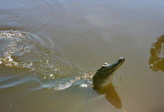 Violazione dell'alligatore Fotografia Stock