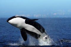Violazione dell'orca Immagine Stock
