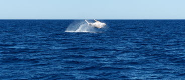Violazione della balena Immagine Stock
