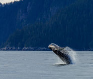 Violazione della balena di Hampback Immagine Stock Libera da Diritti