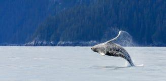 Violazione della balena di Hampback fotografia stock libera da diritti