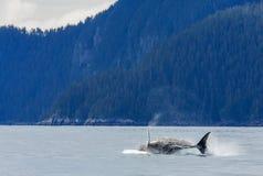 Violazione della balena di Hampback Immagini Stock