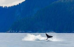 Violazione della balena di Hampback fotografie stock libere da diritti